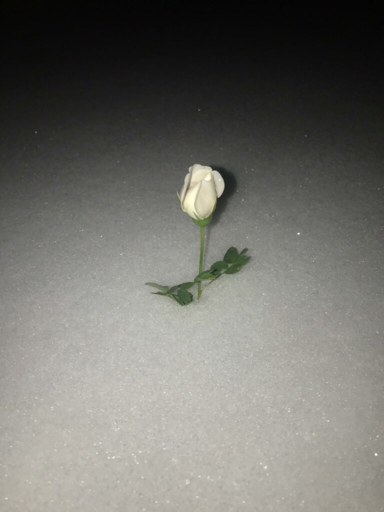 a white midsummer rose blooming in deep snow